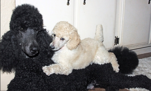 Standard Poodle puppy San Diego