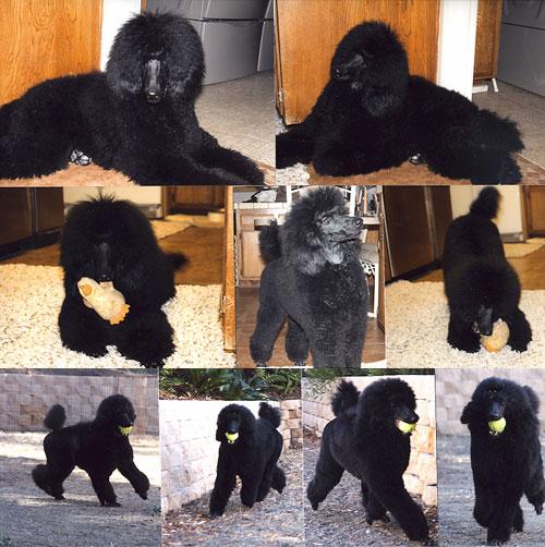Standard Poodles Of Summermist World Class Breeders Of